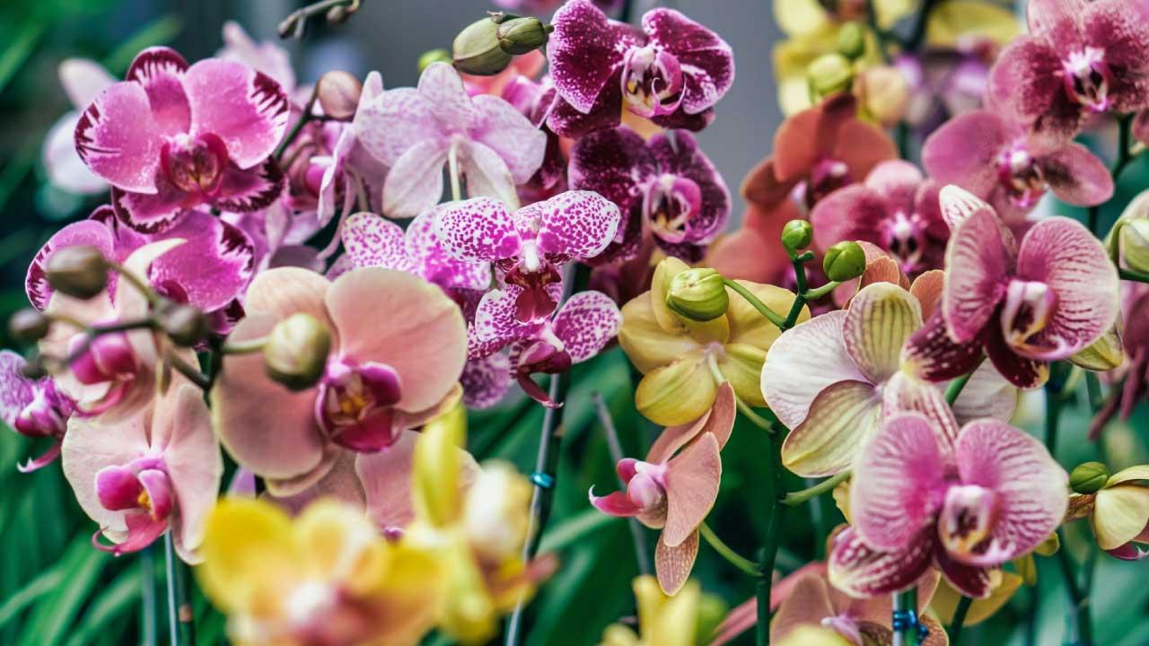 la orquidea la flor nacional de colombia